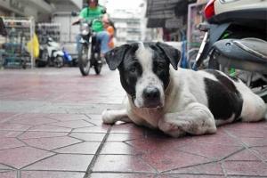 バンコクの路上犬 Street Dog, Thanon Yaowa Phanit