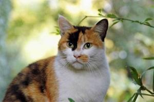 日比谷公園の三毛猫アキ