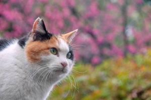 さくら耳の三毛猫と背景の寒緋桜@日比谷公園