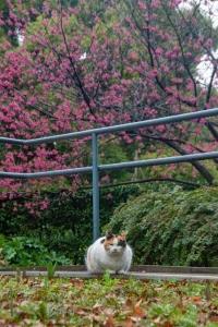 寒緋桜の木の下の三毛猫@日比谷公園