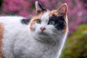寒緋桜を背景に決めポーズの三毛猫@日比谷公園