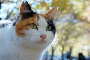 V字カット耳(桜の花びら形耳)の日比谷公園の三毛猫さくら(横位置写真)