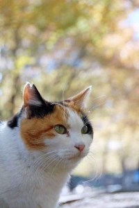 V字カット耳(桜の花びら形耳)の日比谷公園の三毛猫さくら(縦位置写真)