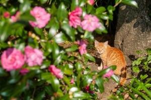 日比谷公園の捨て猫(茶トラ)と山茶花の花