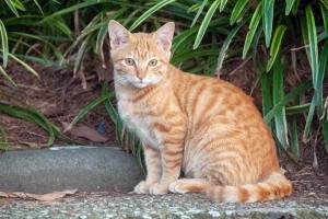 日比谷公園の捨て猫(茶トラ)