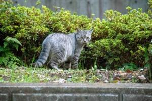日比谷公園のグレータビー猫