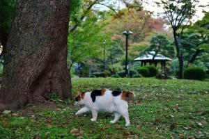 日比谷公園の三毛猫さくらとケヤキの紅葉