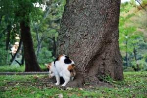 日比谷公園の三毛猫さくら 四つ足で立って毛づくろい