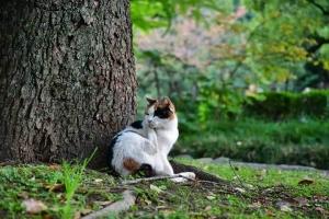 毛づくろいする日比谷公園の三毛猫さくらと桜の紅葉