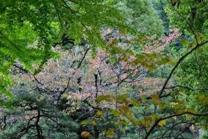 日比谷公園の桜の紅葉 2018.11.3