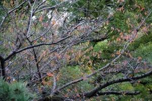 日比谷公園の桜の紅葉 2020.10.31