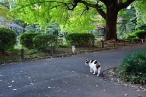 日比谷公園の三毛猫さくらと大イチョウ