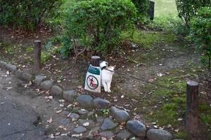 日比谷公園の三毛猫さくら ロープに匂い付け