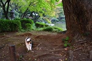日比谷公園の三毛猫さくら イチョウの根で爪とぎ