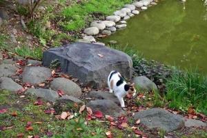 日比谷公園の三毛猫さくら 医師の凹みの雨水たまり(空)