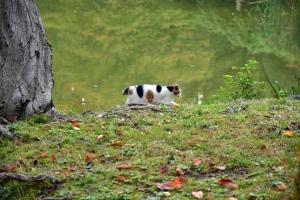 日比谷公園の三毛猫さくら 雲形池に映る11月初の樹木