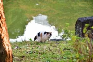 日比谷公園の三毛猫さくら 雲形池に映る11月初の樹木と遠くのビル