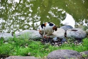 日比谷公園の三毛猫さくら 池の水を飲む