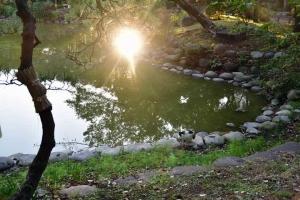 池の水を飲む日比谷公園の三毛猫さくらと池に反射した太陽