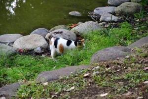 日比谷公園の三毛猫さくら 池の淵の草