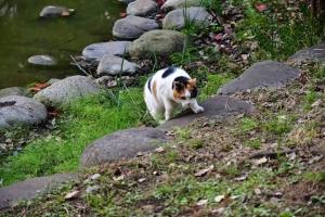 日比谷公園の三毛猫さくら 池の淵から這い上がる