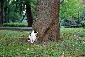 日比谷公園の三毛猫さくら 木にスリスリ