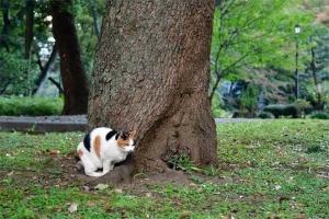 日比谷公園の三毛猫さくらとクスノキ
