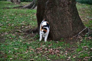 日比谷公園の三毛猫さくら (頭を振る)