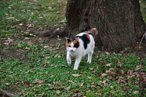 日比谷公園の三毛猫さくら (寄ってくる)