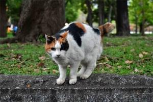 日比谷公園の三毛猫さくら (訝しげにカメラを見る)