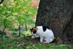 毛づくろいする日比谷公園の三毛猫さくら