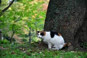 毛づくろいを止めた日比谷公園の三毛猫さくら