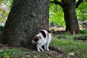 クスノキに身体をこする日比谷公園の三毛猫さくら