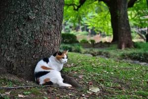クスノキの根元に座る日比谷公園の三毛猫さくら