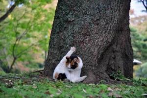 脚を上げる日比谷公園の三毛猫さくらと紅葉