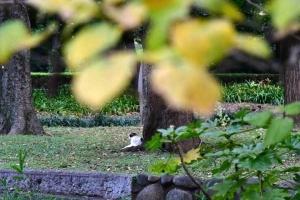 黄葉したマンサクの葉と小さく写っている日比谷公園の三毛猫さくら