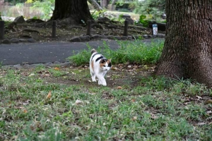 こっちに歩いて来る日比谷公園の三毛猫さくら