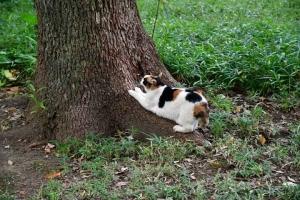 クスノキで爪とぎをする日比谷公園の三毛猫さくら
