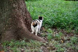 クスノキの根に立つ後ろ姿の日比谷公園の三毛猫さくら