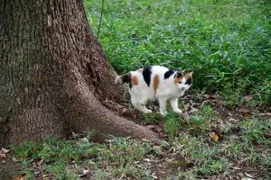 クスノキの根元の日比谷公園の三毛猫さくら