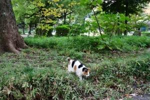 草むらを歩く日比谷公園の三毛猫さくら