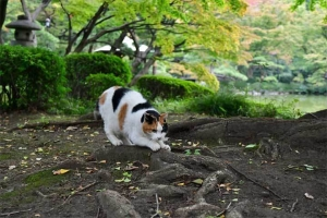 爪とぎをする日比谷公園の三毛猫さくら