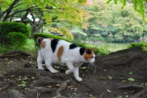 日比谷公園の三毛猫さくら