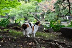 日比谷公園の三毛猫さくら 桜の紅葉