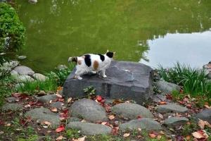 日比谷公園の雲形池と三毛猫さくら、水が干上がった石の凹み