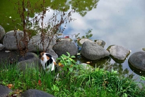 日比谷公園の雲形池と水を飲む三毛猫さくら