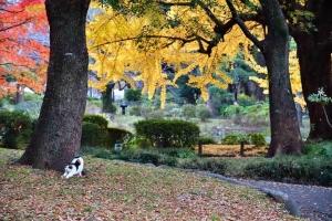 伸びをする日比谷公園の三毛猫さくらと紅葉