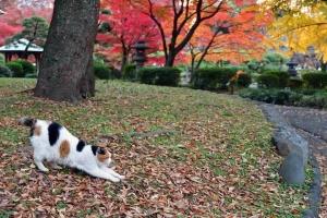 日比谷公園の紅葉と伸びをする三毛猫さくら