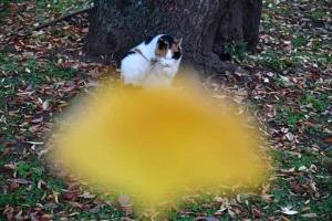 日比谷公園の三毛猫さくらとイチョウの葉