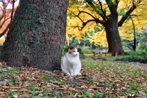 ポーズする日比谷公園の三毛猫さくらと紅葉